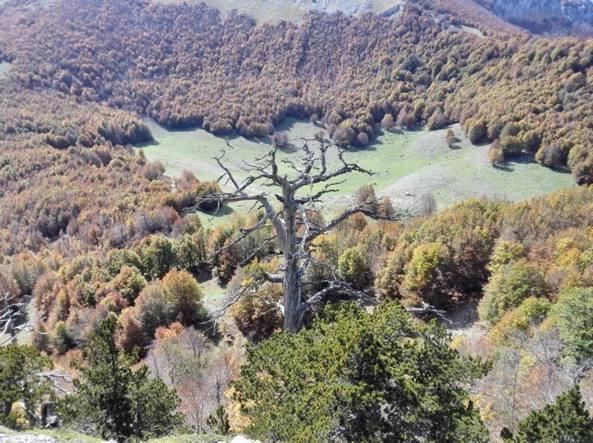 pino loricato italicus
