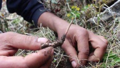 Photo of Alla scoperta del Viagra dell'Himalaya