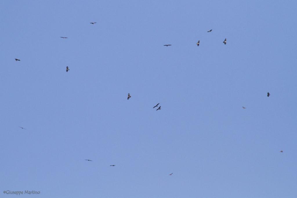 Falco pecchiaiolo - Pernis apivorus (3)