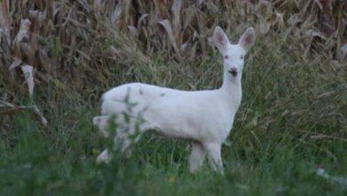 Photo of Avvistato raro esemplare di capriolo albino