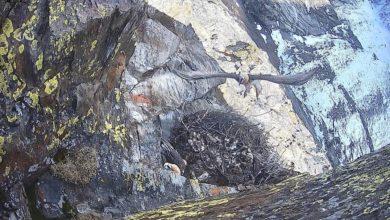 Photo of Gipeto nidifica su Gran Paradiso, off-limits pareti Valnontey