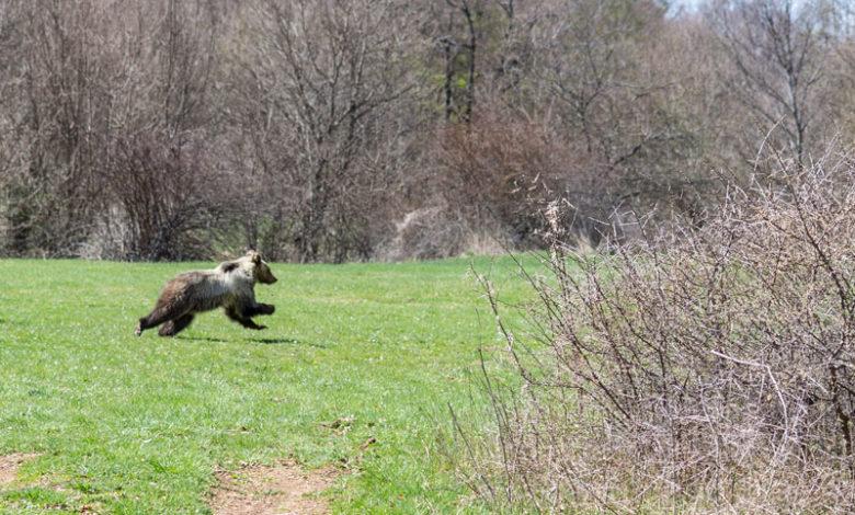 Photo of Operazione sicurezza per l'orso marsicano