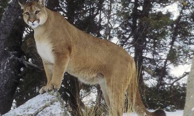 Photo of Puma attacca runner in Colorado. L'uomo lo uccide a mani nude
