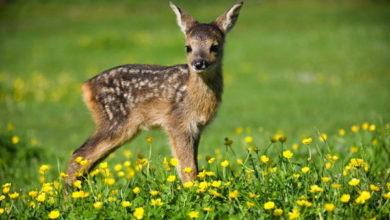 Photo of Falciatura in Svizzera, 448 cerbiatti salvati con i droni