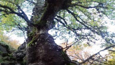 Photo of Aspromonte, quercia tra le cinque più vecchie del pianeta