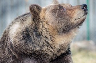 orso monte peller