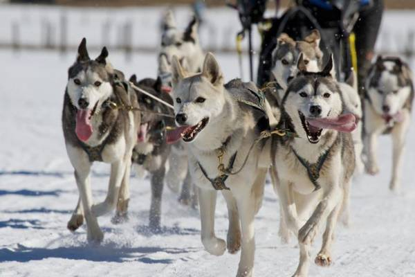 Photo of Allarme per gli husky da slitta in Lapponia