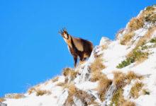 Photo of Pnalm, lotta serrata agli escursionisti indisciplinati per la difesa del camoscio