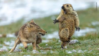 Photo of Lo scontro tra volpe e marmotta è la foto naturalistica dell'anno