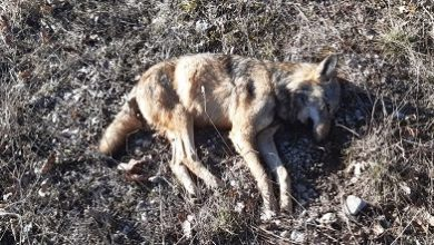 Photo of Giovane lupo ucciso con esche avvelenate