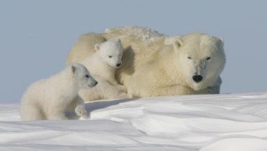 Photo of È la Giornata mondiale dell'orso polare… ma c'è poco da festeggiare