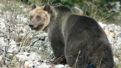"Photo of L'orso M49 ""bussa"" a due rifugi e sfascia un po' di cose"