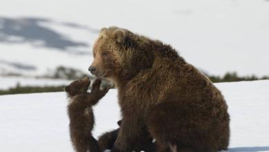 Photo of Alaska, ok di Trump a ciambelle e fari per uccidere cuccioli di orsi e lupi