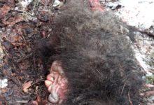Photo of Giovane orso ucciso e mangiato da adulto maschio