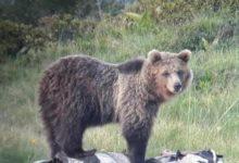 Photo of Orsi in Trentino: M49 e JJ4 tracciabili online da tutti in tempo reale