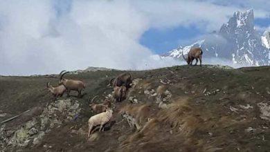 Photo of Lo stambecco bianco del Monte Bianco