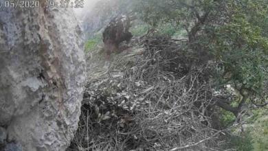 Photo of Parco dei Nebrodi, nato il piccolo di aquila reale