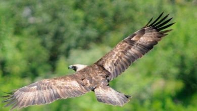 Photo of Aquila reale uccisa a fucilate nel suo nido in Val Pusteria