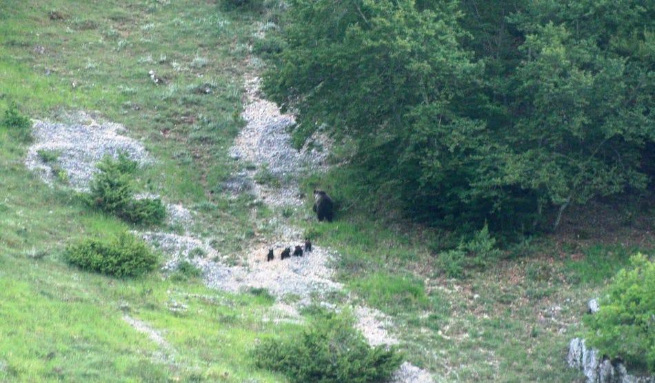 orsa marsicana cuccioli
