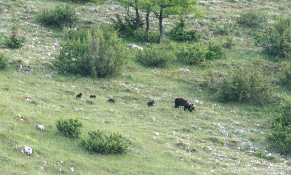 orsa marsicana 4 cuccioli
