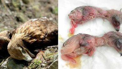 Photo of Aquila reale uccisa nel suo nido a colpi di fucile, morti anche i piccoli