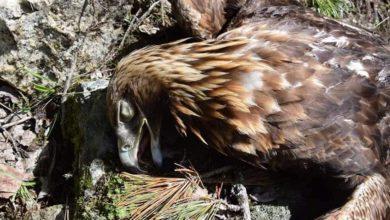 Photo of Aquila uccisa nel nido mentre cova, 1000 euro per chi identifica bracconiere