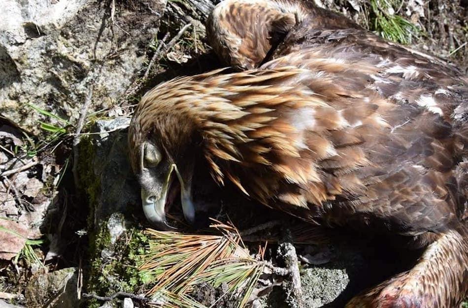 aquila uccisa nido