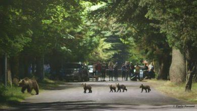 Photo of Lezione di convivenza: orsa coi 4 cuccioli a spasso per le vie di Villalago