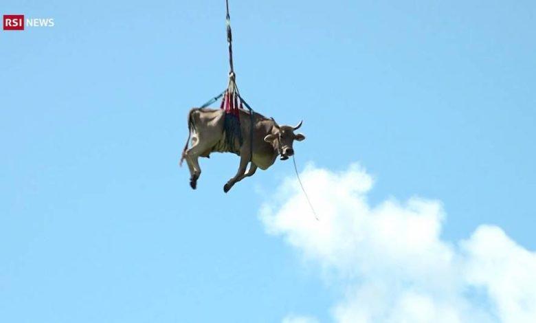 transumanza mucche volo
