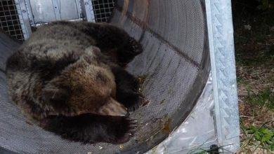 """Photo of Orso M49, il ministro Costa: """"Sto con l'orso. Non va trattato da criminale"""""""