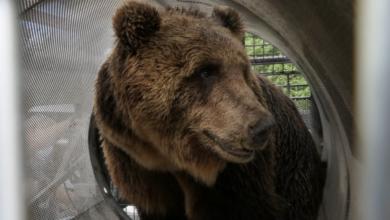 Photo of SONDAGGIO: quale futuro per l'orso M49?