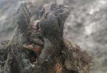 Photo of Siberia, trovati resti di orso di 30 mila anni fa perfettamente corservati