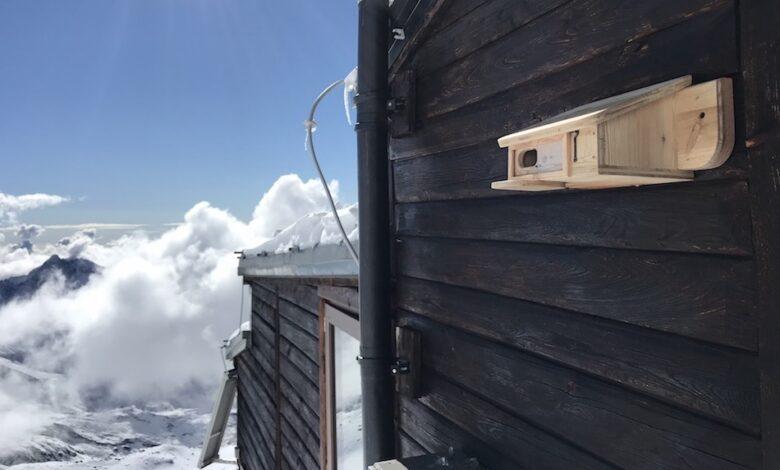 fringuello alpino capanna gnifetti