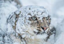 Photo of Il Leopardo delle nevi rischia di non avere più casa