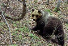 Photo of Majella, si rifà viva l'orsa Peppina