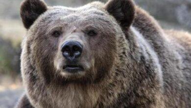 Photo of Il Consiglio di Stato: l'orsa JJ4 torna libera