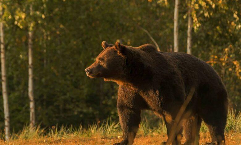 orso arthur