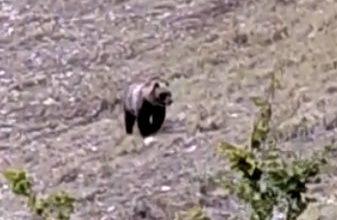 orso marsicano sibillini